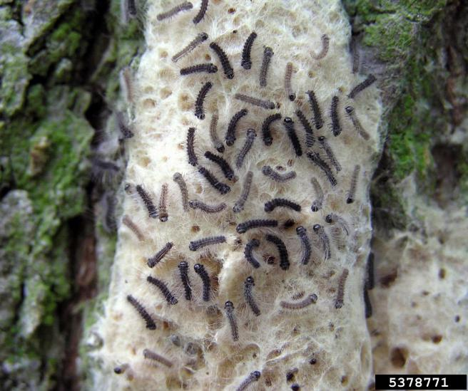 Figure (5): Newly hatched Gypsy moth, adapted from http://www2.ca.uky.edu/entomology/entfacts/ef410.asp